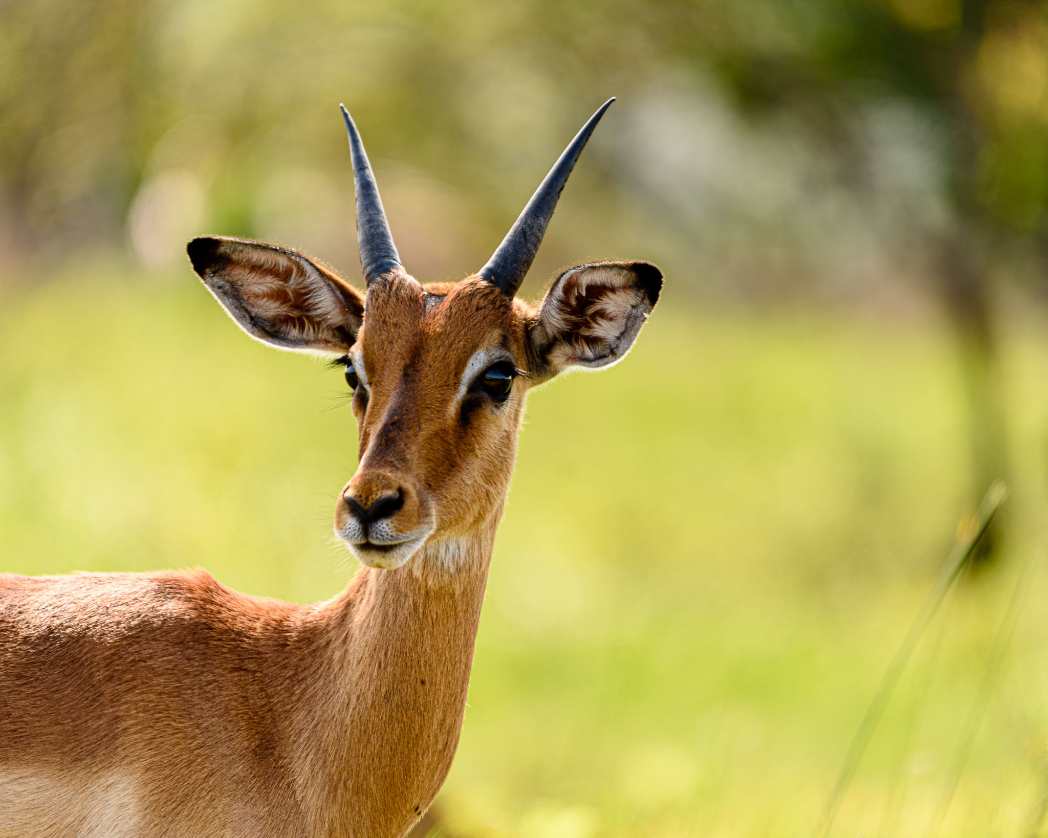 The steenbok is one of the most common antelope in Kruger national park, but that doesn't mean that getting a good portrait is easy. They are quite skittish and run off with the least provocation.