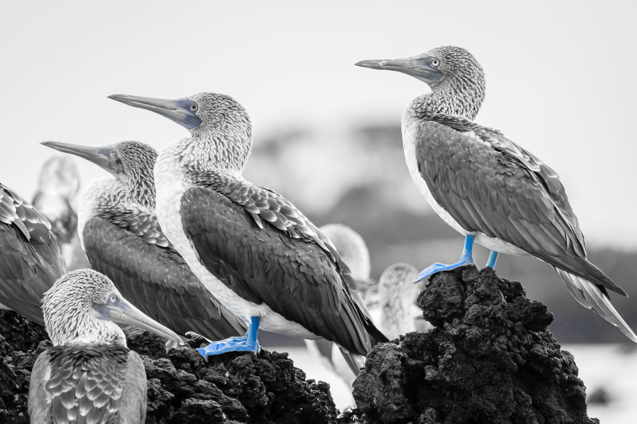 I don't do a lot of editing to my photos. Often just black and white is an 'extreme' edit. However I thought considering the look in B&W and the iconic nature of the birds feet that a selective colour would work for this.