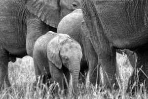 Elephants are often hard to photograph on safari, especially if you aren't a professional with multiple cameras and lots of lenses. Sometimes they get so close that your longer wildlife lens is just too much for the herd. However that allows for nice close ups of the smaller members of the family.