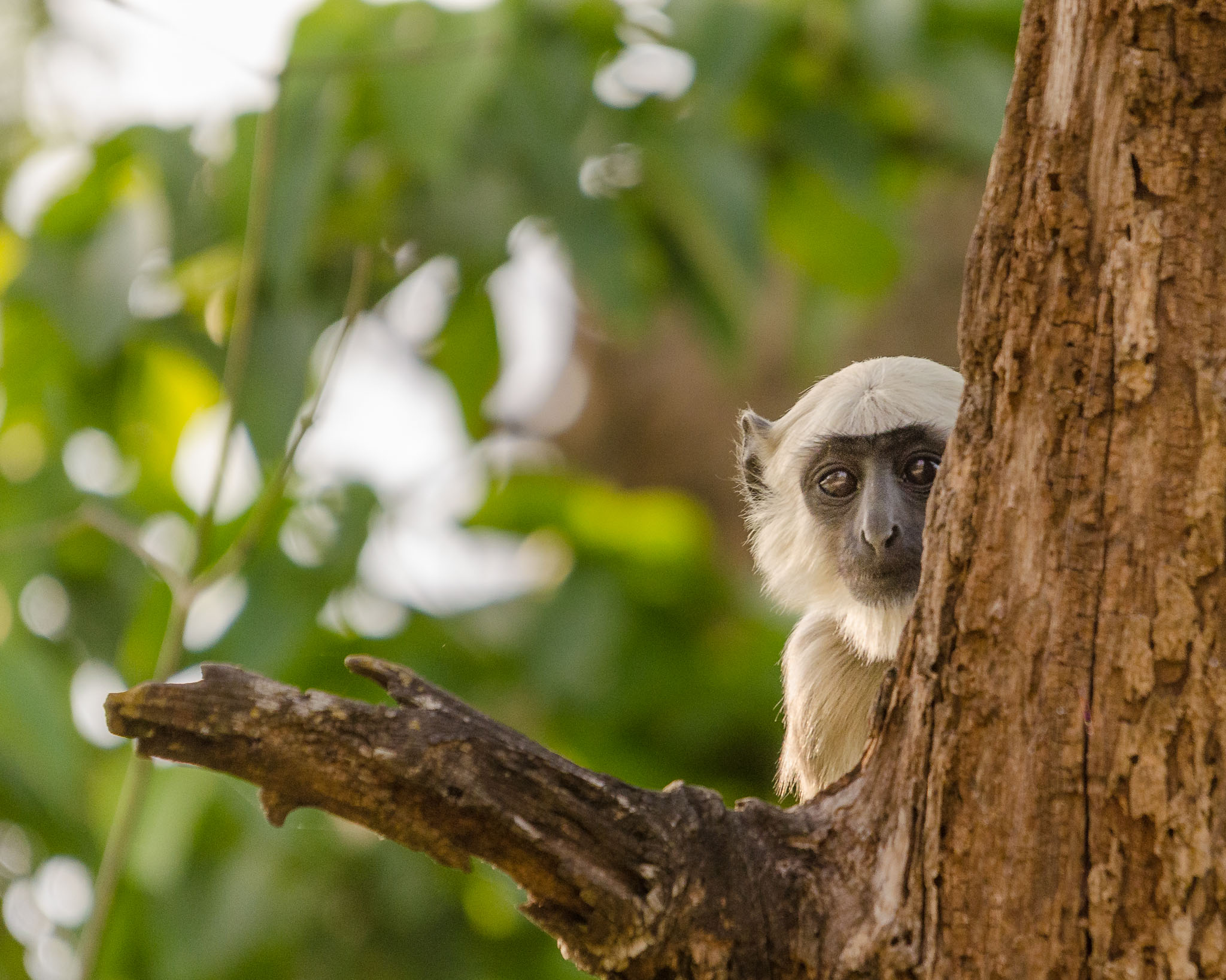 Monkeys are very curious and almost always check you out while you photograph them. However they do like their security and stay high up or somewhere relatively safe.