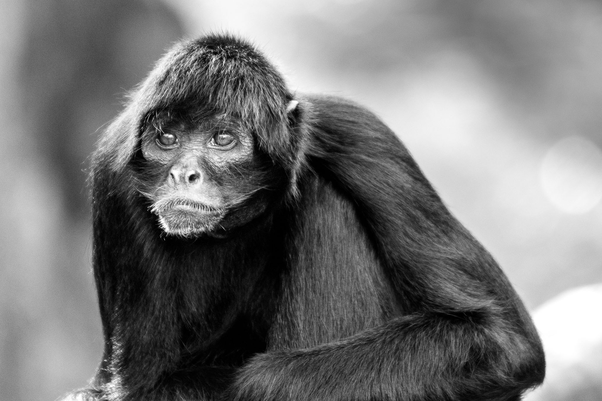 Fota Wildlife park in Cork is dedicated to breeding endangered species. Since they have had a lot of success with cheetahs they are moving out to try and preserve other endangered animals. While visiting I met this black spider monkey who doesn't look to be too enthralled by his life. Is life in captivity worth it to save a species?