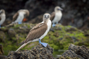 The blue feet of the Booby really stand out  in what is a bit of a monochrome landscape. The lava rocks have only limited amounts of green growing on them a lot of the time. The blue is really noticeable agains this grey/green background.
