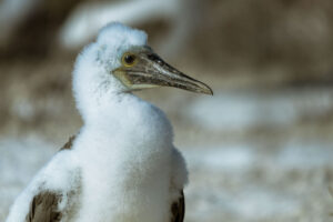 In November the chicks of the blue-footed-booby are wandering around outside their nests for the first time. Sometimes it is hard to keep your distance from them as they get interested in the people taking photos of them.