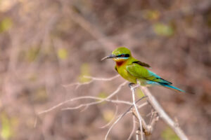 The colours and beauty of the bee-eaters always blows me away. I just wish they were more common in Europe so I could capture them all year round.