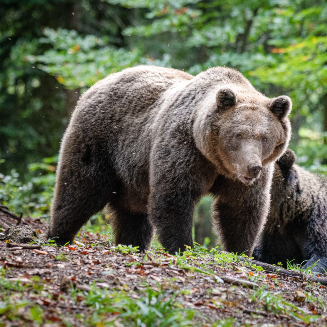 The brown bear is not so common in Europe any more but their numbers are increasing due to a huge reduction in hunting and an increase in photographic hides in areas frequented by the bears.