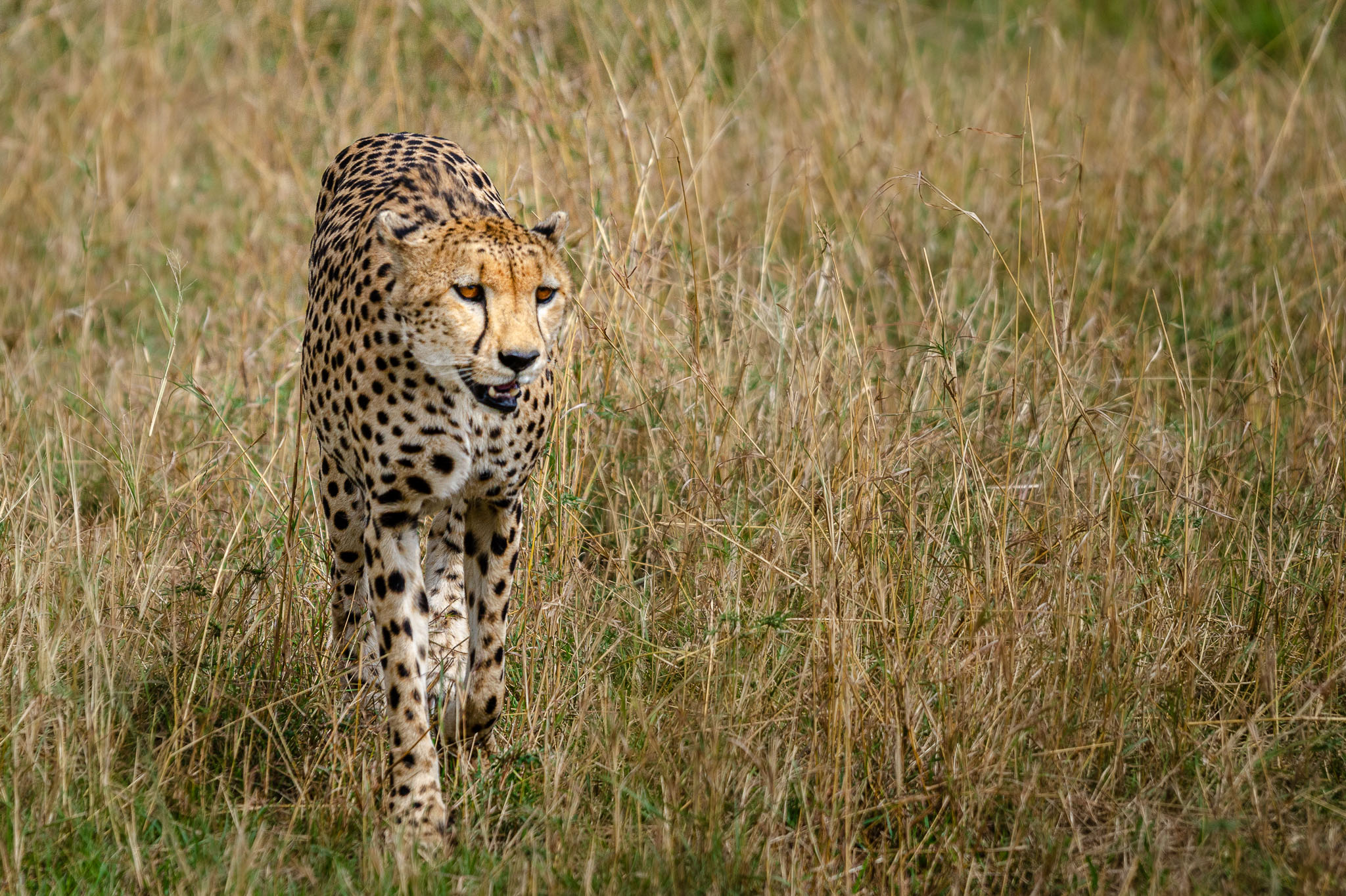 I met this guy with his brother out for an evening stroll. They were just wandering as cheetah do. Just looking for a bit of prey that would be easy enough to stalk and capture. Since they found nothing they just settled under a bush for a bit of shade.