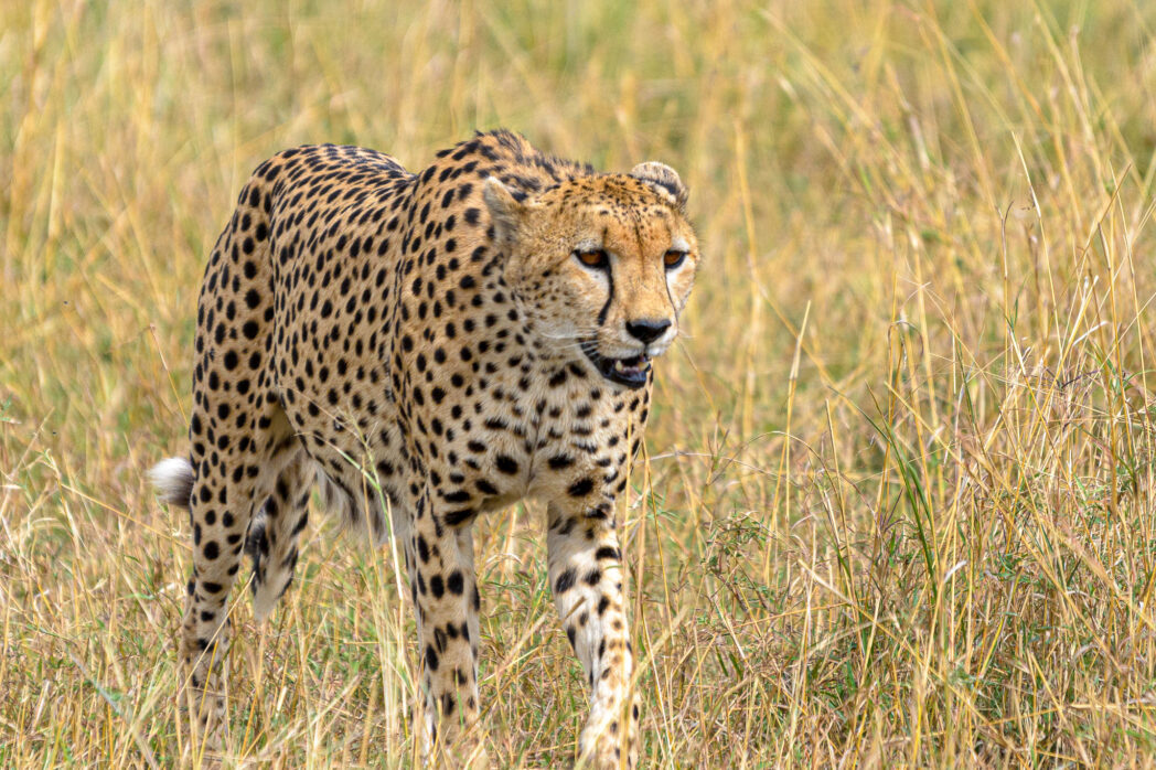 Unfortunately I have yet to see a cheetah running at full speed. This guy did a little bit of stalking through the grass right beside our safari vehicle but then decided to just give up. I guess he decided it wasn't a realistic hunt and would be a waste of energy to go flat out just so I could get a photo.