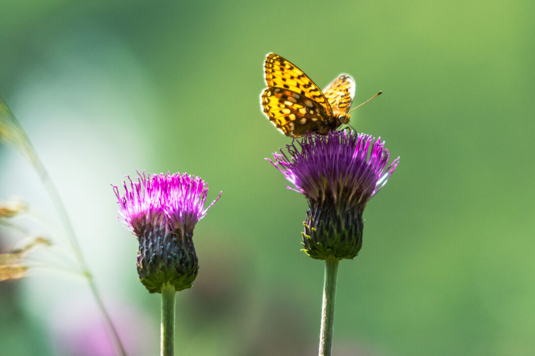 Butterflies are probably the easiest to see of the Alps wildlife. Their numbers in the meadows of Tirol are massive during the summer months while the grass and wildflowers are allowed to grow as winter fodder for the cattle.