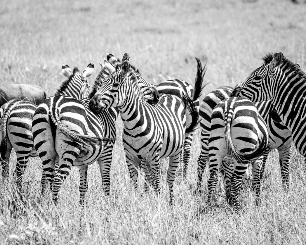 There is a reason why the collective noun for zebras is a dazzle. It is impossible to single them out and count them individually with all those stripes.
