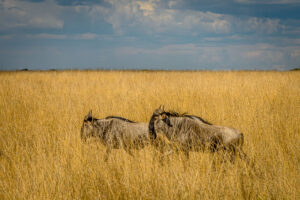 Depending where you are in the seasonal circle of the great migration there will be a few or many wildebeest visible in the Serengeti. Over two million live on the plains of east Africa, one of the conservation worlds success stories.