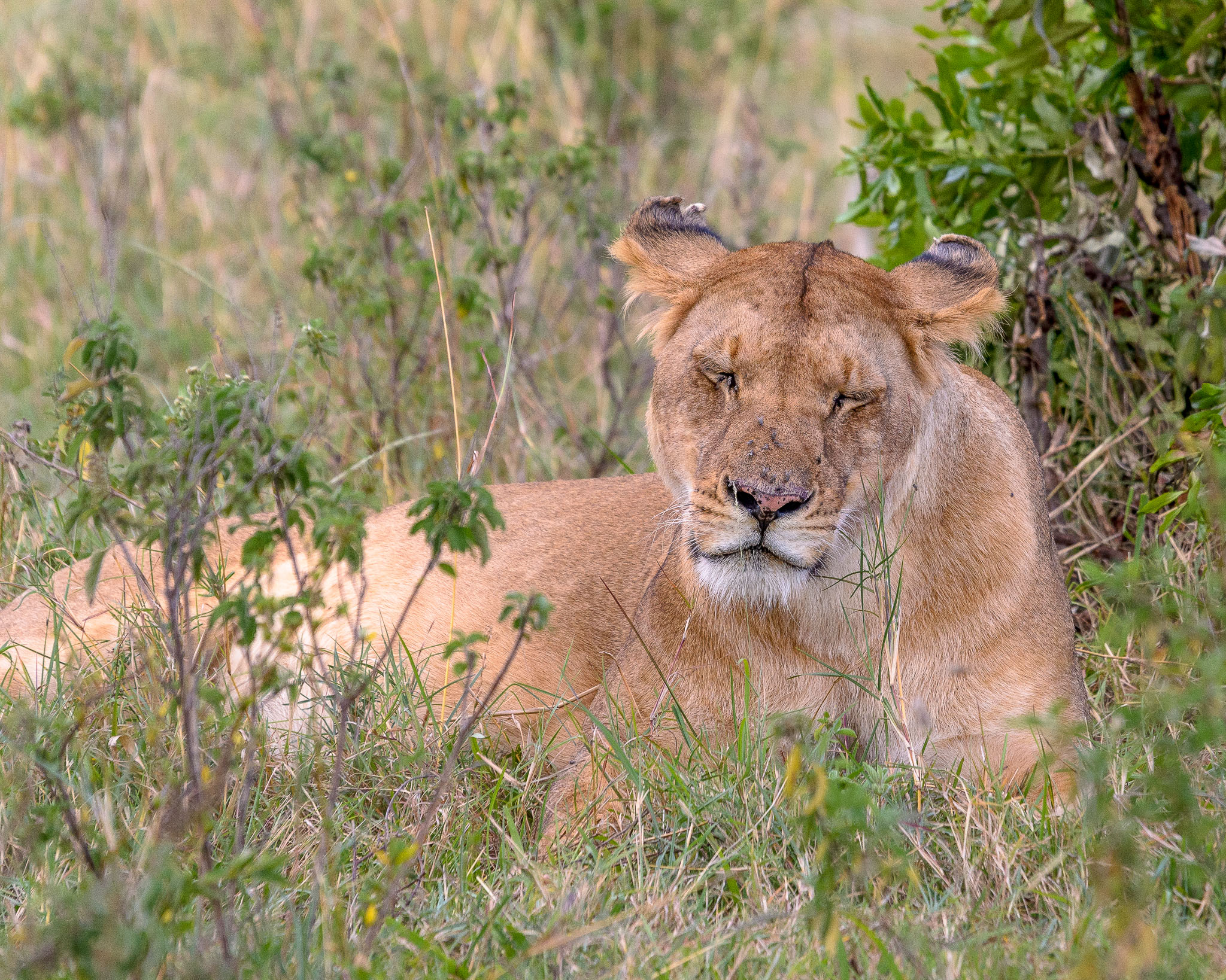 I was lucky to go straight out and find a lioness on my first game drive in the Masai Mara in Kenya. Well I thought I was lucky. Our guide explained afterwards that some animals are creatures of routine, and this lioness and her pride always took an afternoon siesta in similar places.
