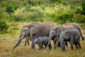 Elephants normally travel in herds which means that family portraits are relatively easy. However just like any family they don't always look at the camera all at the same time.