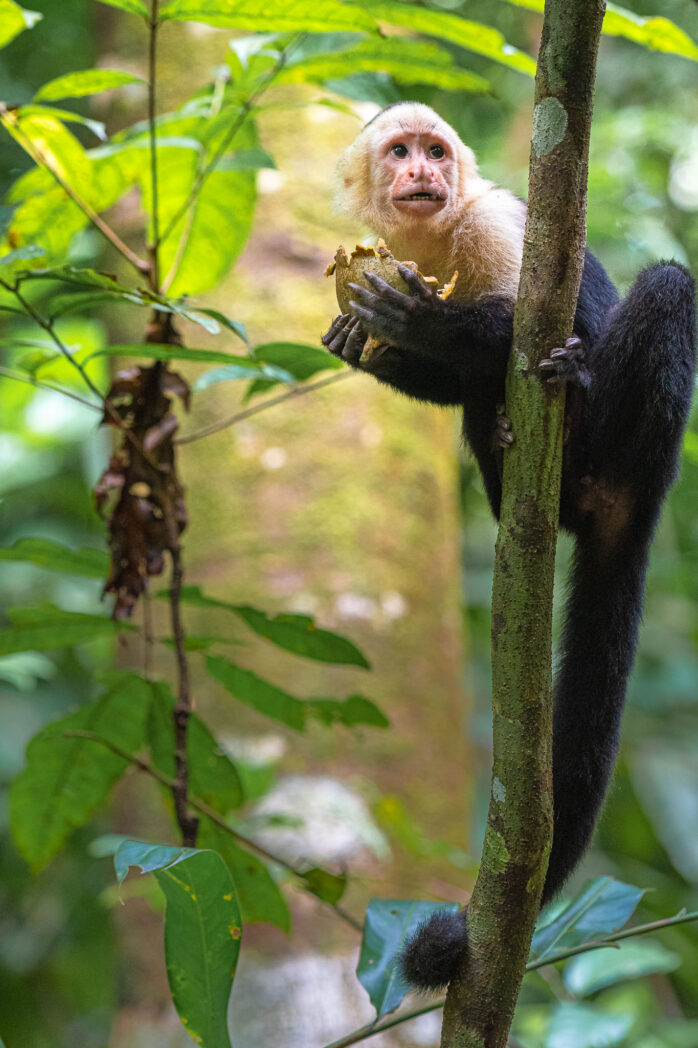 The capuchin monkeys of Costa Rica are easy to find. Not so easy to capture with a camera. They move quickly and don't stay still for long. Getting this guy eating was lucky as he stayed a bit longer to allow me to get the image.