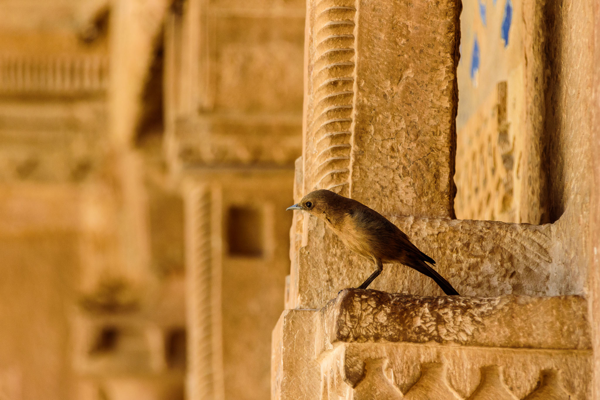 It is amazing where you will find wildlife sometimes. In the bare stone fort of Gwalior I came across this female Indian robin. I would have thought there wasn't much there for her but there was quite a lot of other birds living among the sterile looking stone walls. Obviously there was more to feed on than what was obviously visible to my eye.