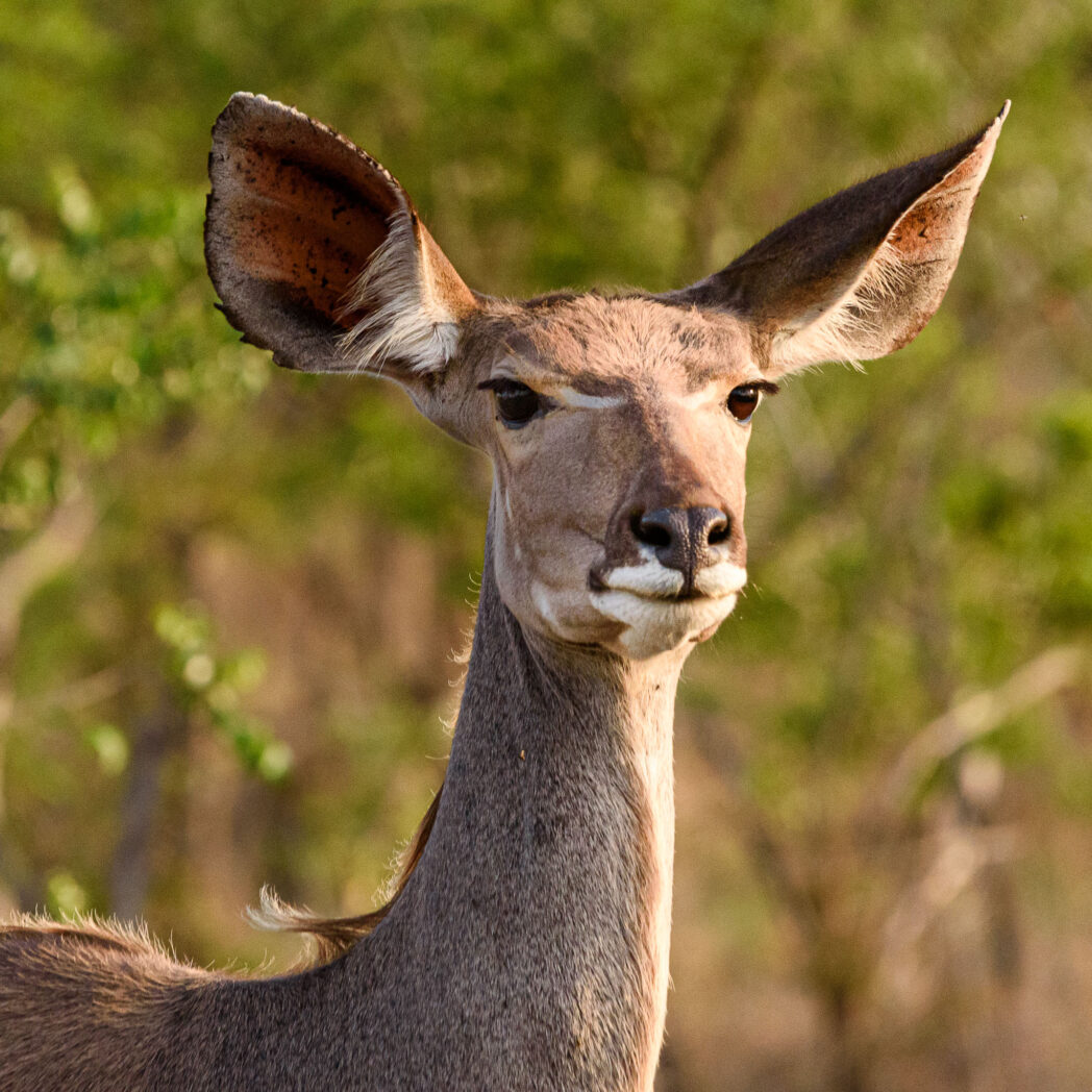 The Kudu is the symbol of Kruger National Park. However it is the male version with his horns that is instantly recognisable. I think the female is equally graceful