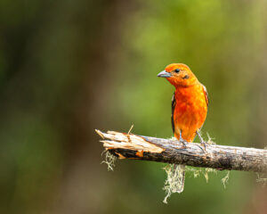 There are so many birds in Costa Rica that photographing them is just a joy. Find a perch and focus on it, a bird will land in no time. In this case it was a flame coloured tanager.