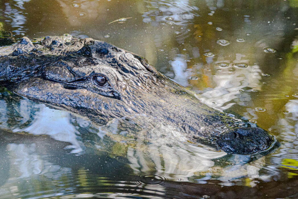 There is nothing like meeting a gator up close and personal to see the power and strength they have. The everglades in Florida are a really easy place to see this and you get the bonus of going on an airboat, something that you dreamt was much more exciting that it ends up being, but they do allow you to get out into the swamps with ease.