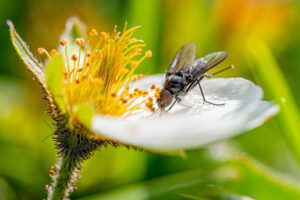 Macro photography is getting easier and easier and is a great way of reminding people of the importance of our pollinators. Flies are as important as bees and don't need to be indiscriminately killed.