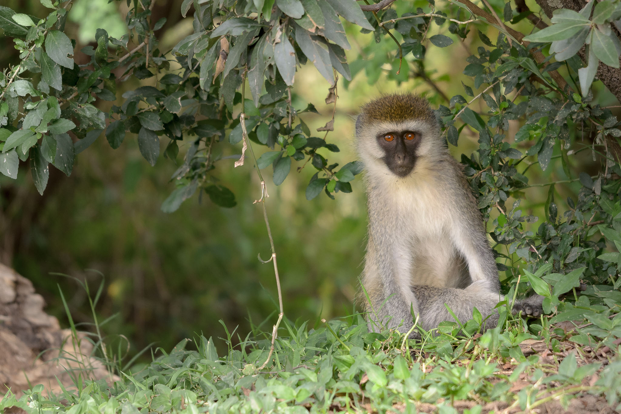 This vervet hung around our camp and was willing to sit and pose quite a lot. He also tried to steel our fruit as well, so wasn't always perfectly behaved.
