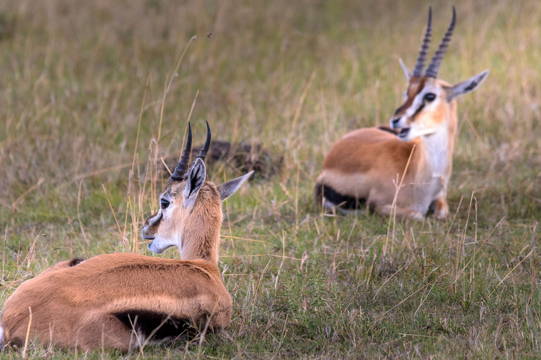 In the early afternoon the Gazelles tend to lie down and take a break. However one needs to always be aware as predators are always on the prowl, though less are around during the heat of the day.