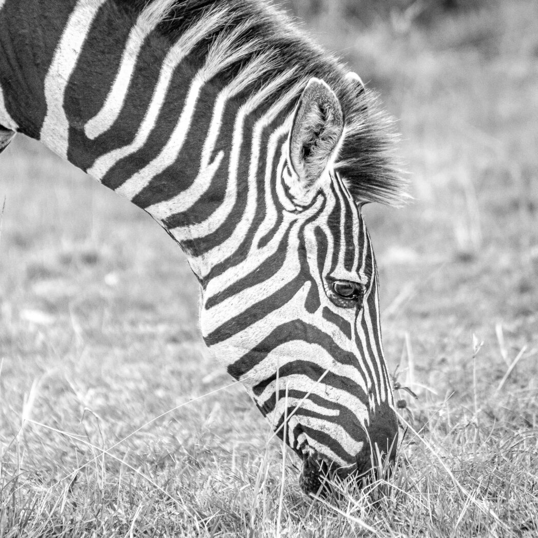 I still have to find a subject that suits black and white better than a Zebra. The contrast always makes for a good image. However I think I still haven't succeeded in finding a zebra that makes a stunning black and white. A good excuse to go back to Africa.