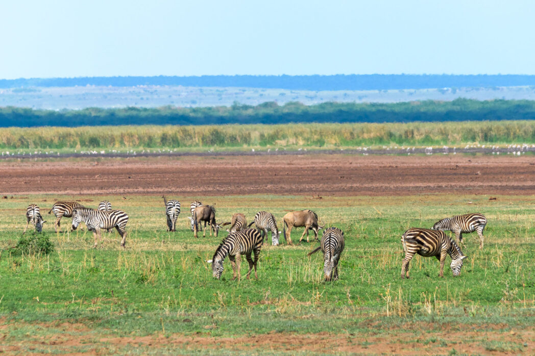 Often we think of the East African savanna as a flat unending grassland with millions of zebras and wildebeest when it is so much more complex. However stereotypes exist for a reason and much of the Serengeti area is indeed just grass and grazing animals.