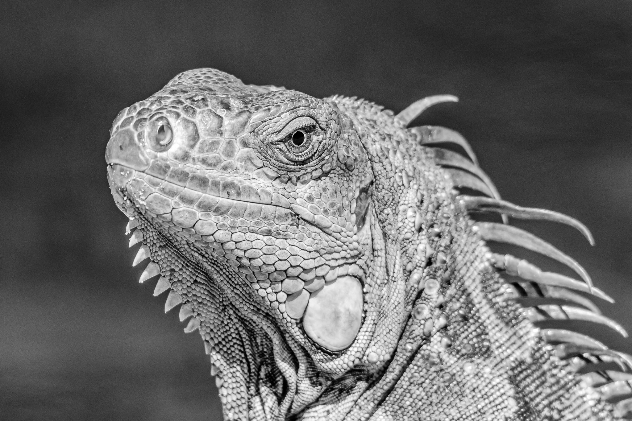 The scaly skin of reptiles just makes black and white photos the obvious choice. I love the way the black and white makes the detail in the skin stand out.