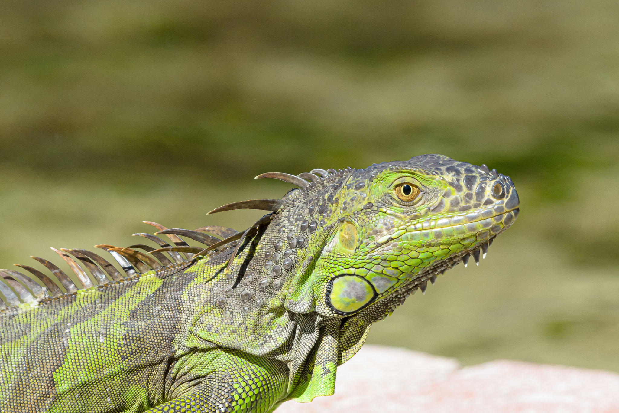It is often easy to photograph a reptile as they do tend to spend a lot of time in the sun just chilling. A bit of calm and a gentle approach allows for easy photos. Similar sized mammals or birds just move way too fast.