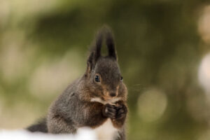 This squirrel in the Alps is quite active during the winter. The local casino puts out bird feed and nuts regularly through the woods to help support the wildlife during the winter months. The squirrels therefore don't need to store up as much food and are active bird table raiders during the cold season.