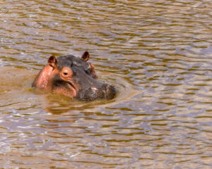 Photography Lesson number 1. Back everything up twice. The NatGeo level photos I had of Hippos were on a memory card that got corrupted. The back up was stolen. Hippos aren't easy to photograph but do provide opportunities for dramatic story telling images. I need to go back and get some more.