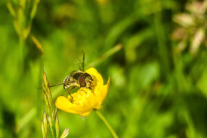 Bees are the medias favourite pollinators at the moment but all small insects are in decline and are equally important. Hoverflies are extremely common but often overlooked.