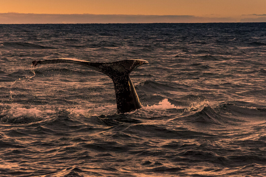 Whale watching in Iceland is wonderful in the early morning in the late autumn. The sun is so low in the sky that it feels like it is sunrise for hours on end.