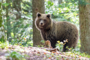 I met my first bears in Canada by chance. However the thrill of seeing bears in Europe was so much more, knowing how much they are threatened by years of over population. This Slovenian bear was part of a family well known to the locals, who get fed grain regularly to prevent them wandering down into villages.