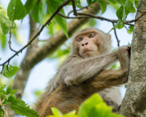The macaques of the Indian Subcontinent are a curious bunch. Spend enough time around them and you can see multiple personalities. This guy was one moment curious and outgoing and the next shy and timid.