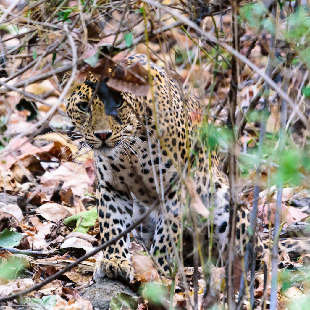 Leopards are probably the most difficult to see of the big cats. They hide and camouflage themselves so well. However given the warning calls of the monkeys and deer we were led to this beautiful specimen hiding carefully in the bush.