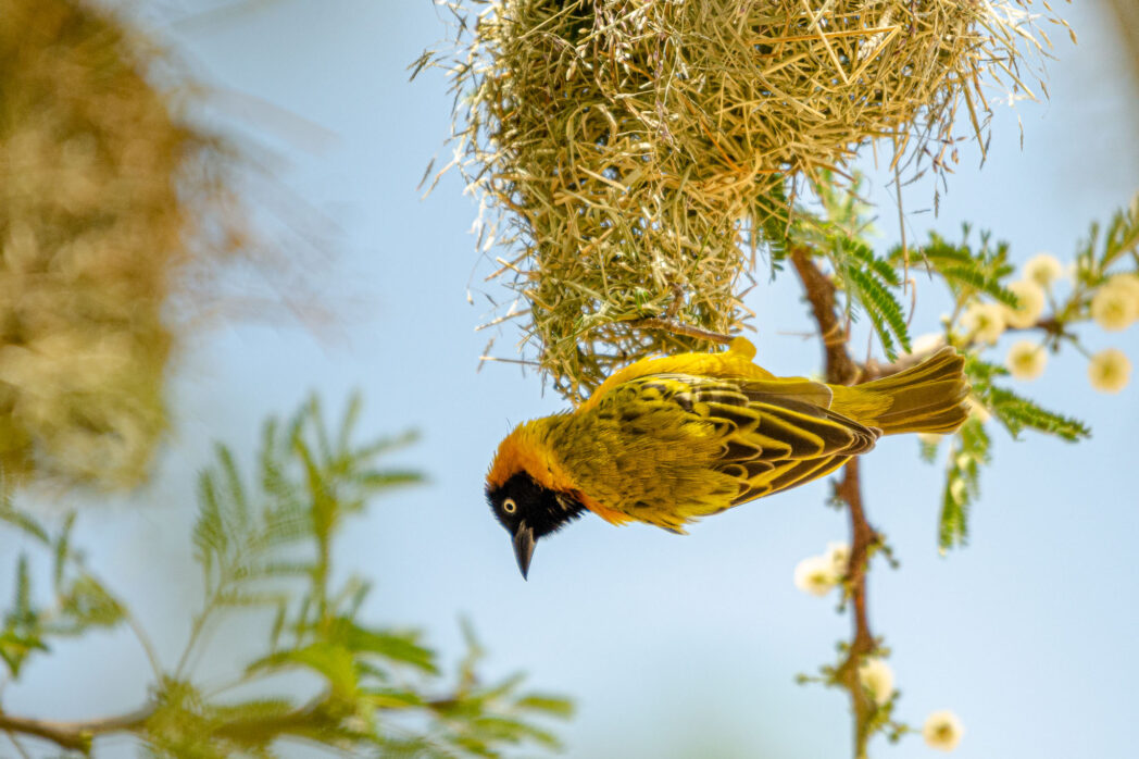 Watching weaver birds make their nests is an amazing experience. Watching any craftsman at work is great but the little birds gather so much material to make a complete and complex home all on their own.