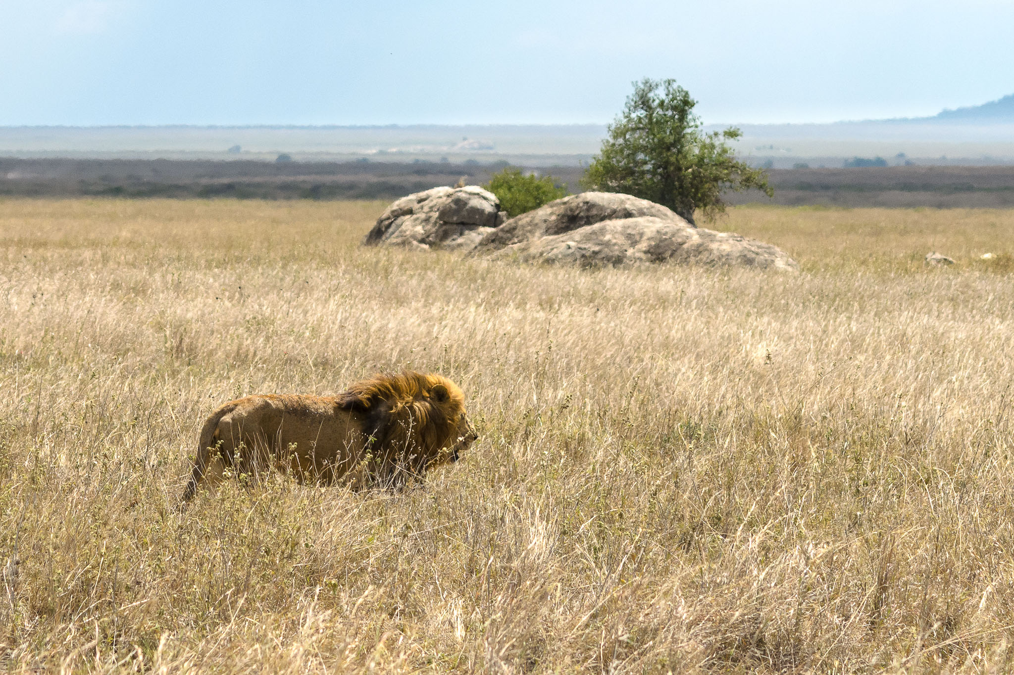 Nothing compares to seeing the confidence of a male line strutting through the grasses of the savanna. If I was that big and strong I guess I would be equally confident that nothing could hurt me.