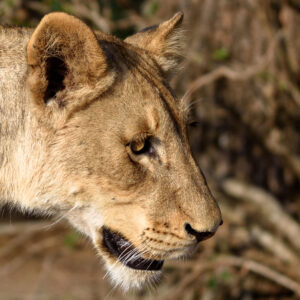 This lioness was encountered on the famous S100 road in Kruger National park. I hadn't seen very many predators in my week there but when I got to this area I had lions all morning long.