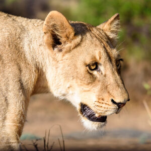This lioness might not have eaten in a long time before I met her. Lions look powerful from a distance but up close you can really see when they are weak and hungry. However there is still a lot of reserve power in their hunting muscles.