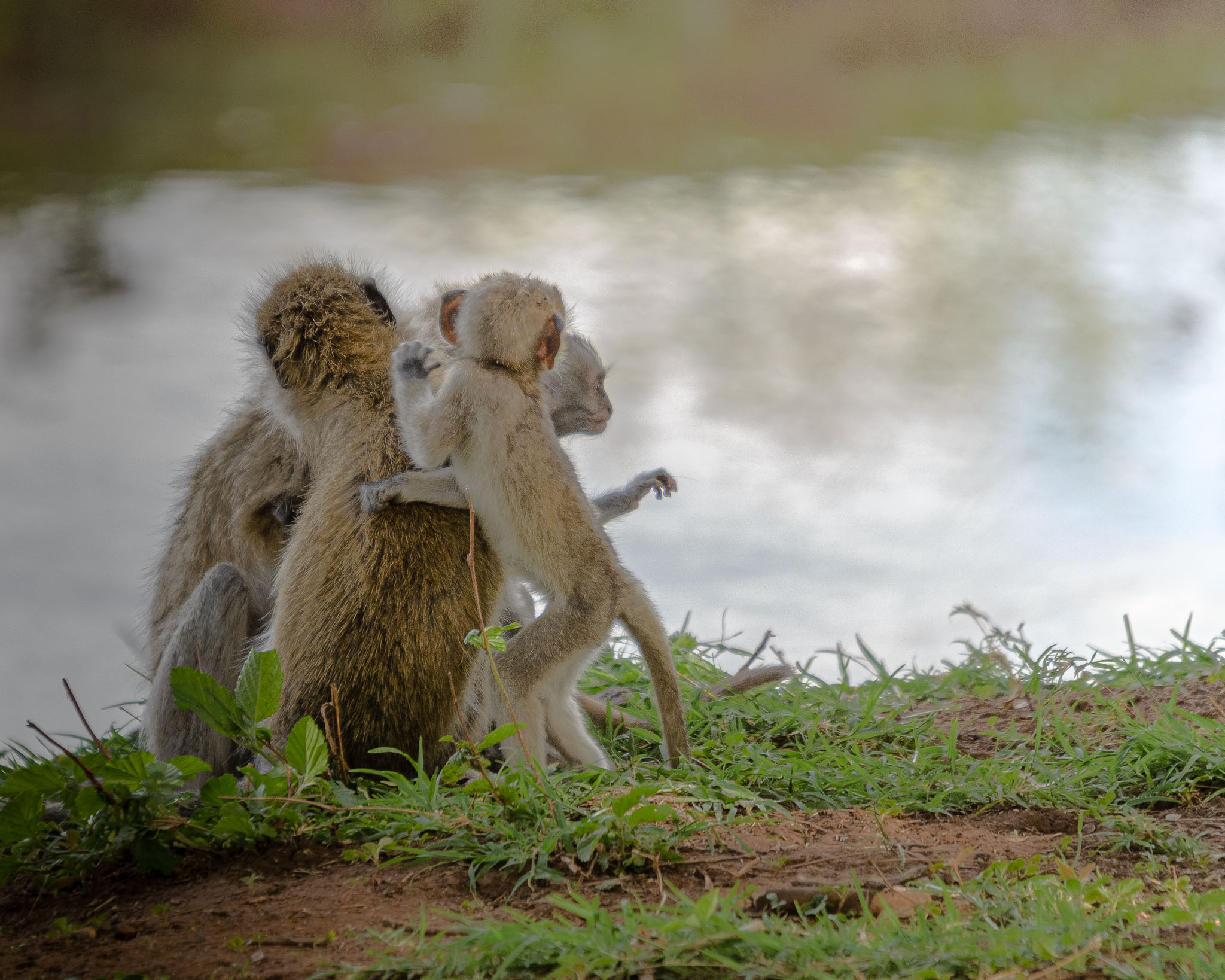 Like all primates the Vervet Monkey is a social creature and a bit of family playtime before bed is perfectly normal. in the soft golden afternoon light, this family came down from the trees to gather in the open and spend time together.