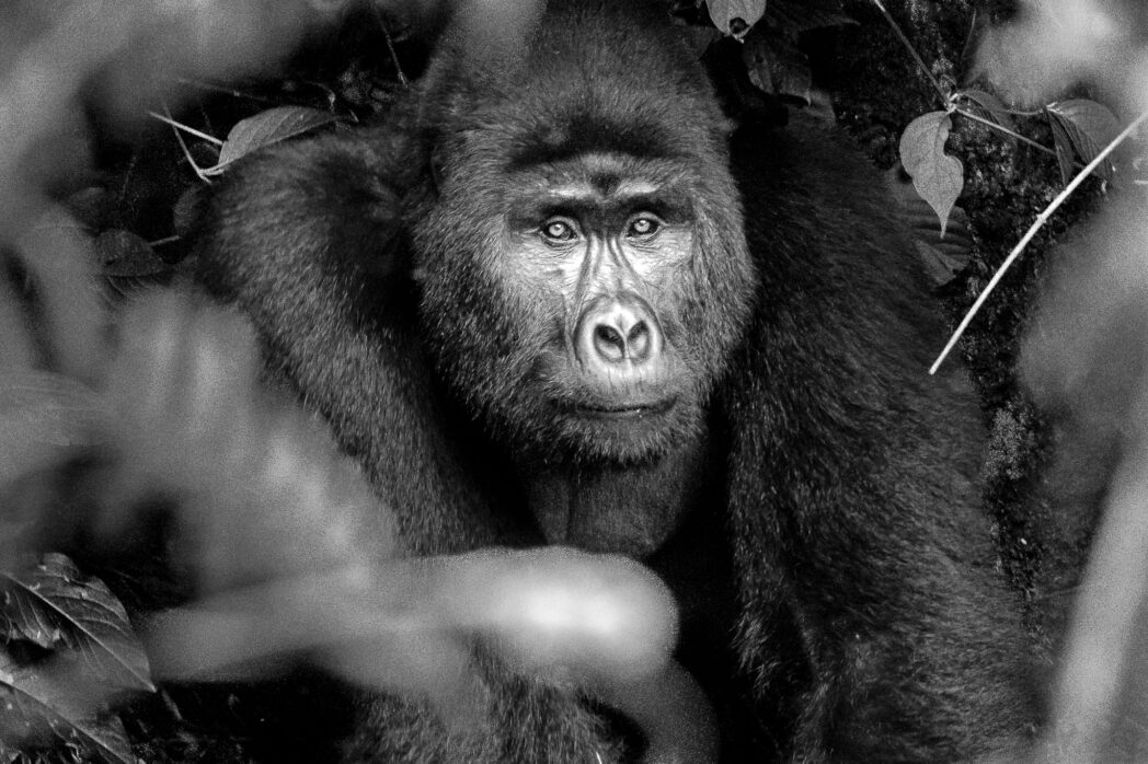It is probably scary for most people when a 120 kg Gorilla charges at you. However for those who have a guide with them it is doubly scary as those guides insist on standing their ground. And since we had the cameras and were standing in front our guides put their hands on our shoulders to make sure we didn't move. This adolescent was just trying to show off though, like any human of an equivalent age. Then he sat back in the bamboo bushes for a nice portrait.