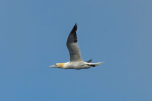 Gannets are the most beautiful birds on the planet. End of story. Some day I need to get to a breeding colony to see and photograph their 'dance'.