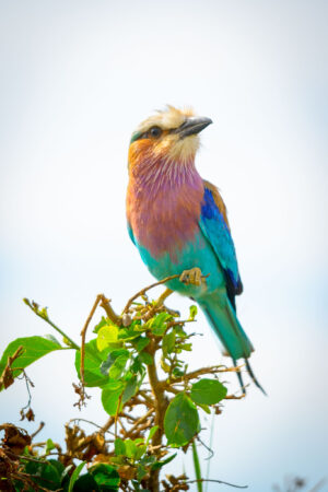 The lilac-breasted roller is one of Africa's iconic birds. It is visible all over when you are on safari. However being such quick fliers and graceful movers, getting a good image is rather difficult sometimes.