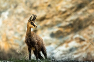 Despite our attempts to wreck the world the chamois still survived, and this family does so by coming down tot he empty quarry at night to feed on sparse grasses. However the steep sides of the quarry are not the trap for the chamois that they might be for other creatures. At the first sign of threat the chamois are already halfway up the almost sheer cliff faces.