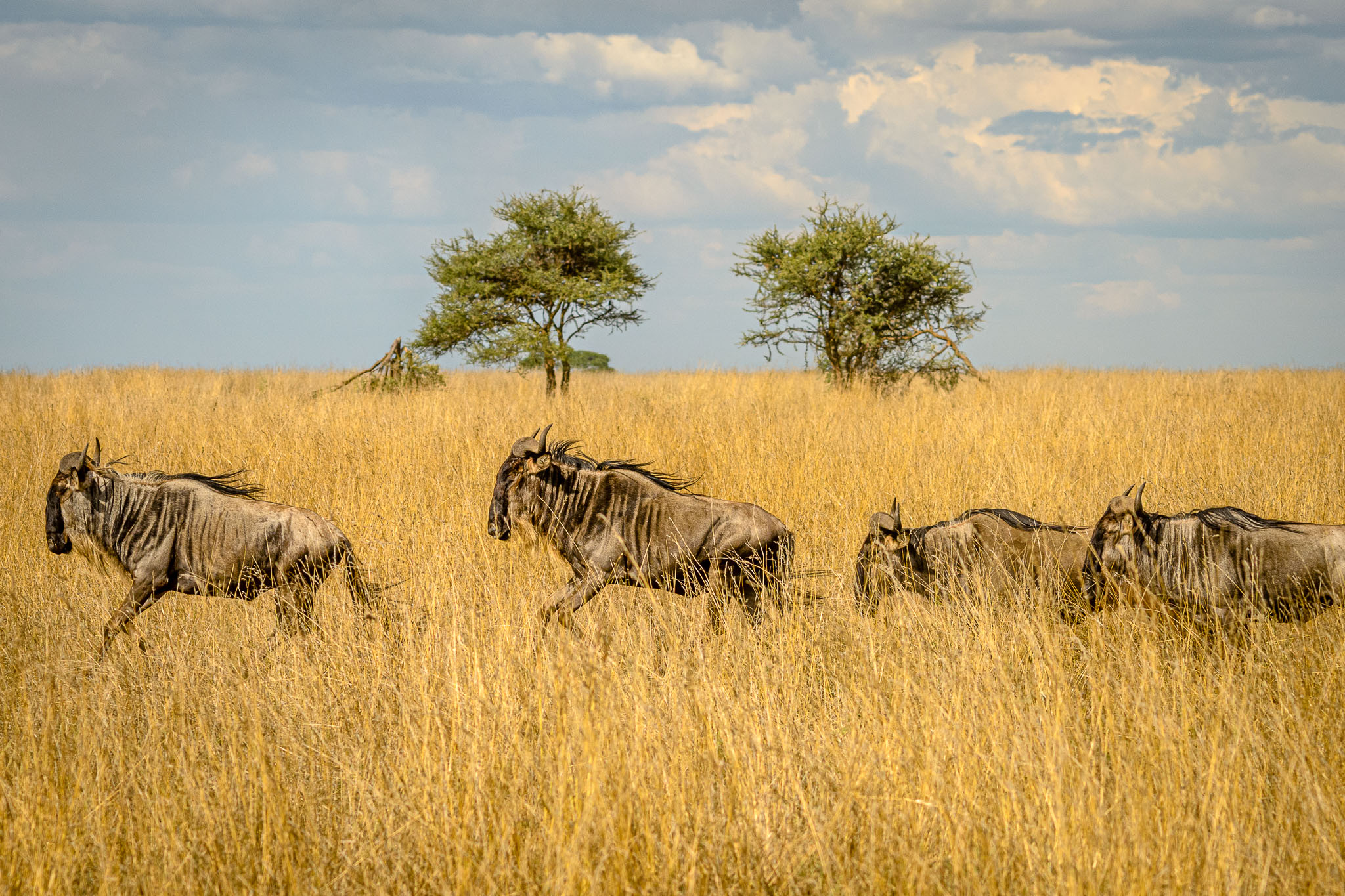 There are so many wildebeest that they are just visible in every direction during the great migration. One can't complain though , they do attract the 'movie star' predators.