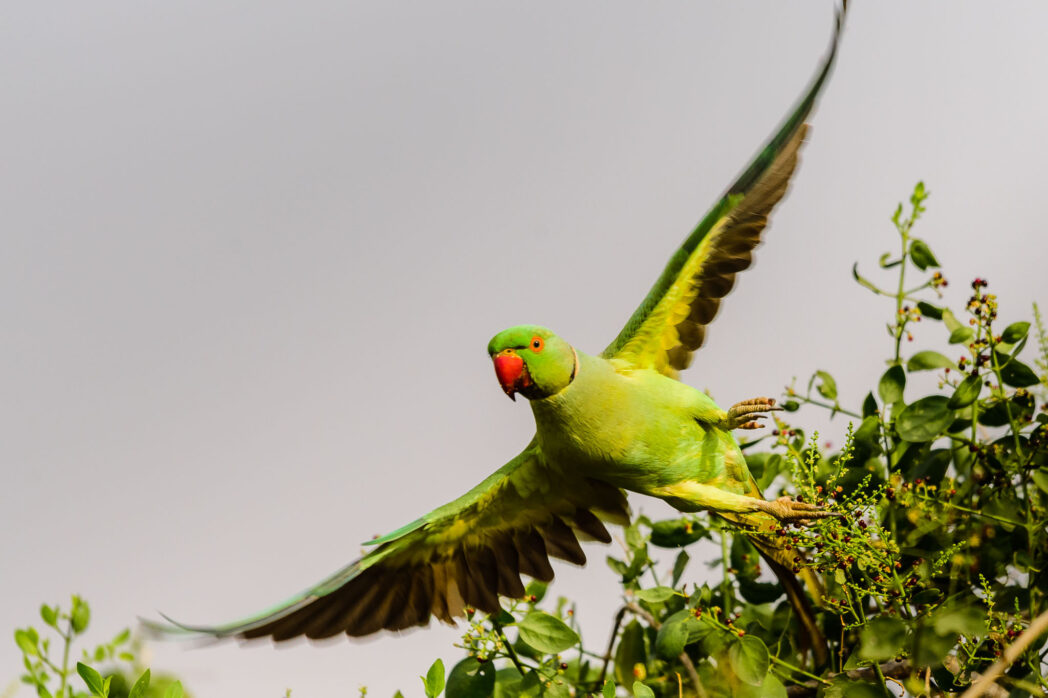 The rose ringed parakeet is famous for being wild in London. In India though it is relatively common. Getting a bird in flight is still difficult, despite the numbers.