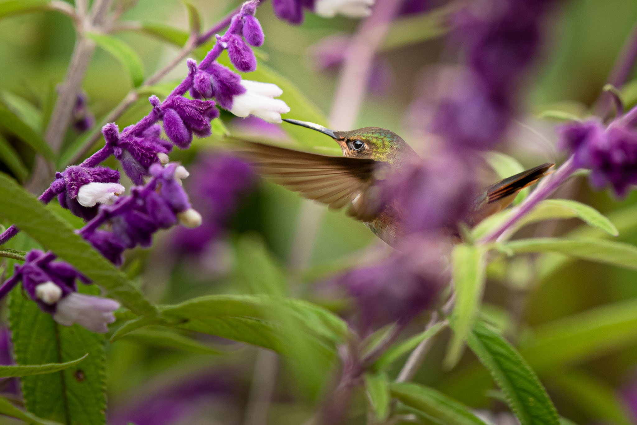Getting hummingbirds feeding is relatively easy as they hover nicely. There speed is phenomenal as they intake a lot of sugar but while feeding they do slow down long enough to grab a shot, though not often in places it is easy to focus on them.