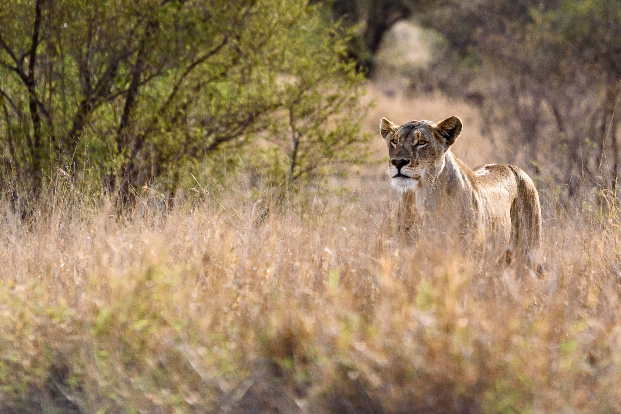 This lioness was a little bit isolated from her pride but they were not too far away. It was just the long grasses that hide them so well when they are hunting that prevented me from photographing the others.