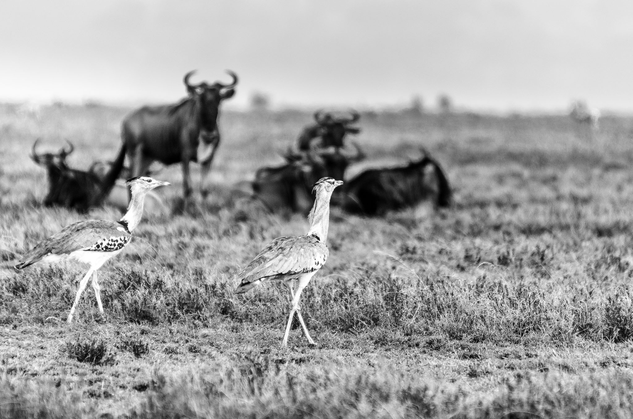 The Kori Bustard is the largest flying bird in Africa. However they do like to stroll as well and are often seen strutting around the savanna. I am not sure I managed to see one flying, never mind get a shot of them.