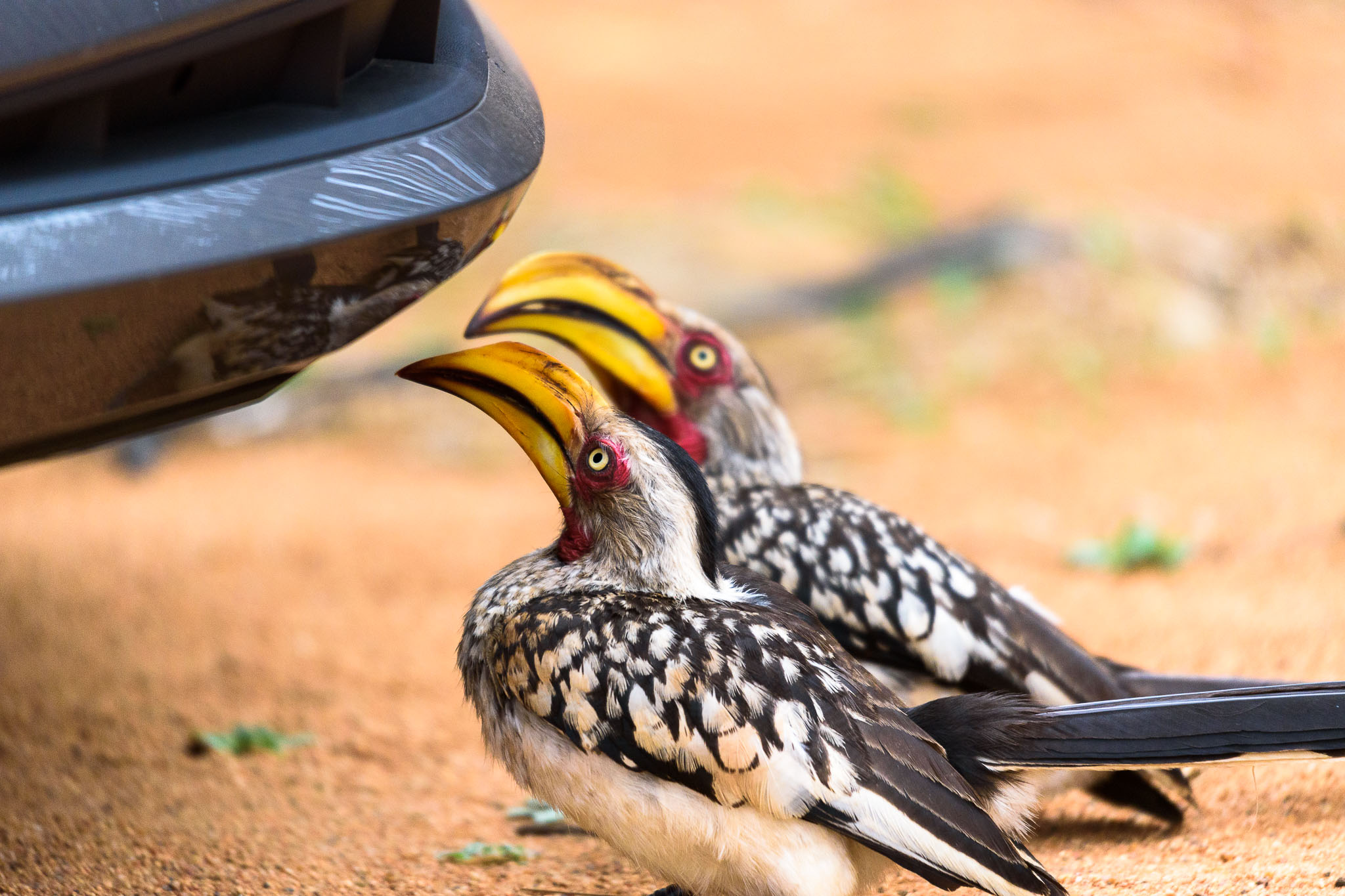 The grey African hornbill is often portrayed as a comical bird. I wouldn't have believed the stereotype was based on reality until I met these two who spent nearly half an hour looking at their reflections in the cars shiny plastic. They really are intelligent and curious birds.